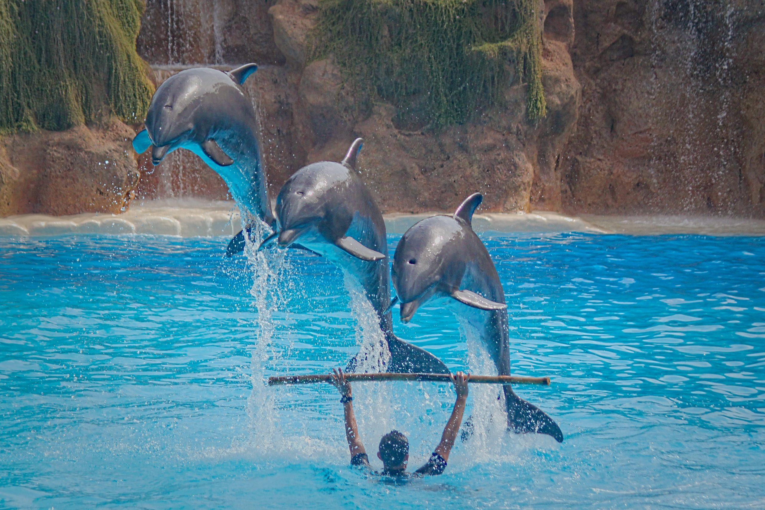 Dolphins jumping over trainer